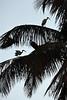 Ibis on Palm 3