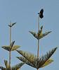 Crow Alighting