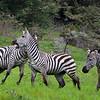 Zebra Wars 3