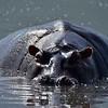 Hippo Wide