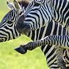 The Zebra High Step