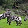 Zebra Wars 2