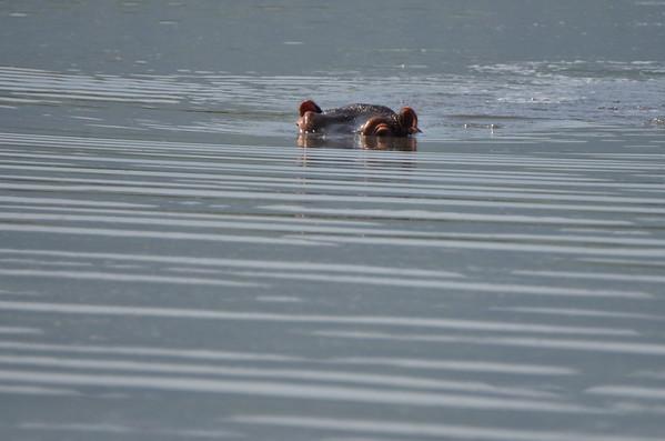 Best of Hippos