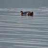 Hippo Ripples 1