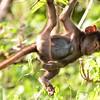 Baboon Gymnast 2