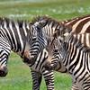 Zebra Generations