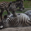 Zebra Dust Bath 2