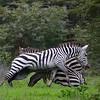 Zebra Wars 1
