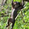 Baboon Gymnast