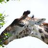 Giraffe Snack