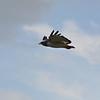 Augur Buzzard in Flight 2