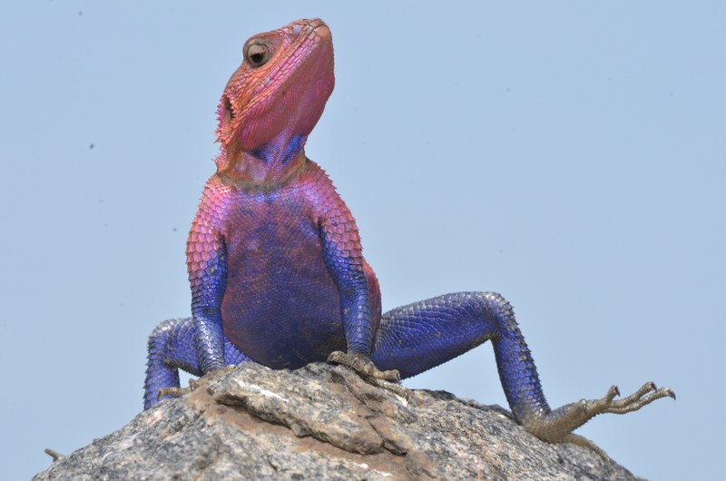 Colorful Agama Lizard 1