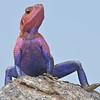 Colorful Agama Lizard 1