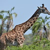 Masai Giraffe Among Palms