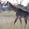 Baby Giraffe in Tarangire