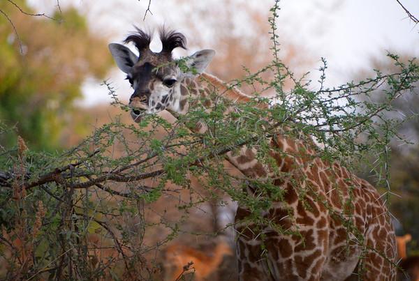 Best of Giraffe