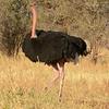 Ostrich Red Neck
