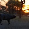 Lone Bull at Dawn 2