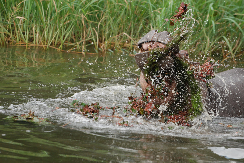 Cecil Takes Out His Temper on the River Plants: An adolescent male hippo guards his territory along the Kafue River in Zambia, Africa