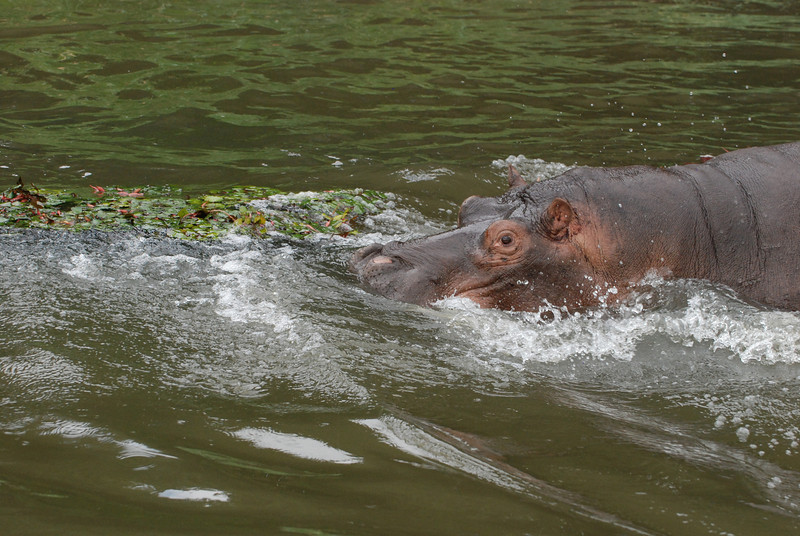 A Pause to Assess the Effect: Cecil, an adolescent male hippo, guards his territory along the Kafue River in Zambia, Africa