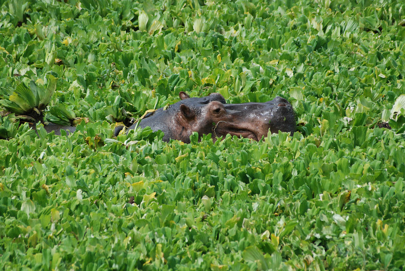 Swimming in a Soup of Nile Cabbage: A hippo surfaces briefly among aquatic plants floating on a quiet lagoon at Mfuwe, Luangwa South, Zambia.