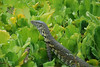 Water Monitor: Though several feet long, this monitor lizard is light enough to walk easily on the Nile Cabbage covering the oxbow lake beside our chalet.
