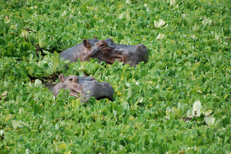 Salad for Two: Hippos eat their way through Nile Cabbage that covers a lagoon at Mfuwe,  Luangwa South, Zambia.