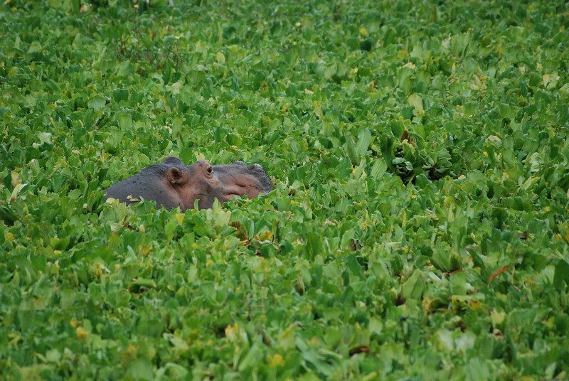 Swimming in the Salad: A hippo surfaces briefly in Nile Cabbage that covers a lagoon at Mfuwe,  Luangwa South, Zambia.