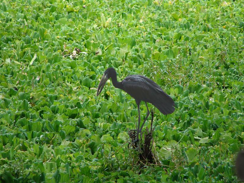 Open Billed Stork: