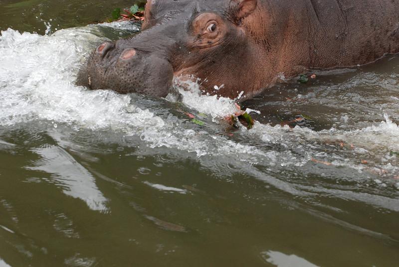 Bubble Bath: Cecil, an adolescent male hippo, guards his territory along the Kafue River in Zambia, Africa
