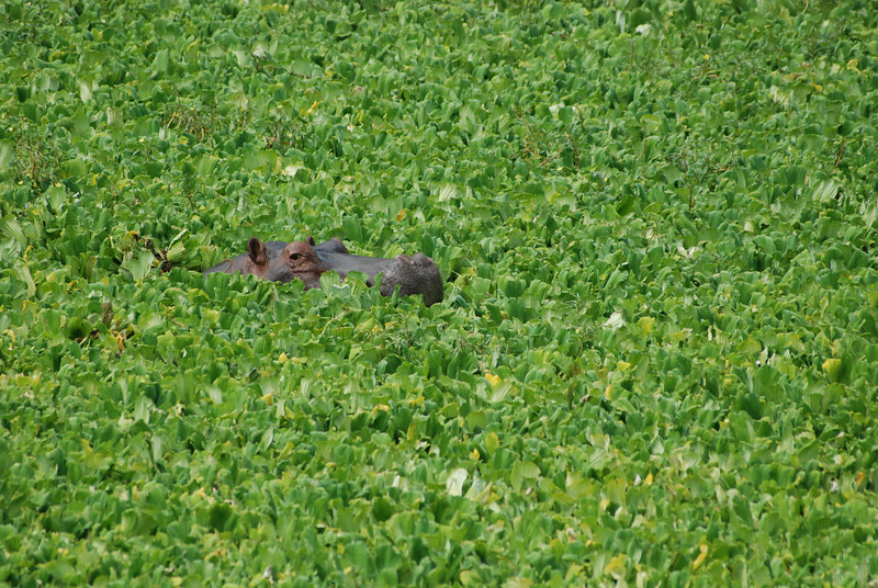 Super Salad: A hippo surfaces briefly in Nile Cabbage that covers a lagoon at Mfuwe,  Luangwa South, Zambia.