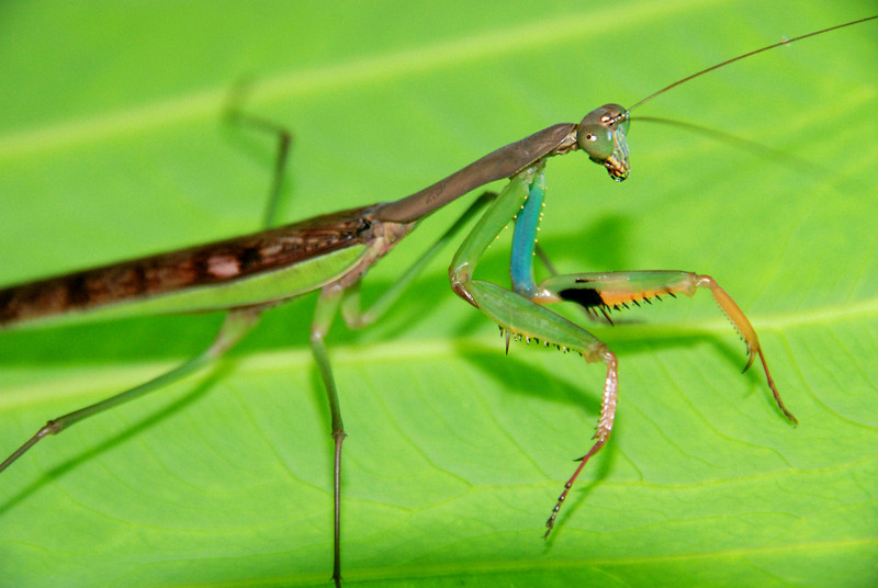 Colorful Hunter: This Zambian praying mantis shows some of his brilliant colors.