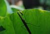 Peaking Mantis