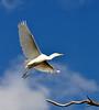 Yellowbilled Egret (Egretta intermedia) In Flight