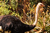 Ostrich Amid Aloes 3