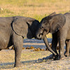 Baby elephants vie for pieces of termite mound, probably wit the intent of tasting the minerals. Hwange National Park, Zimbabwe.
