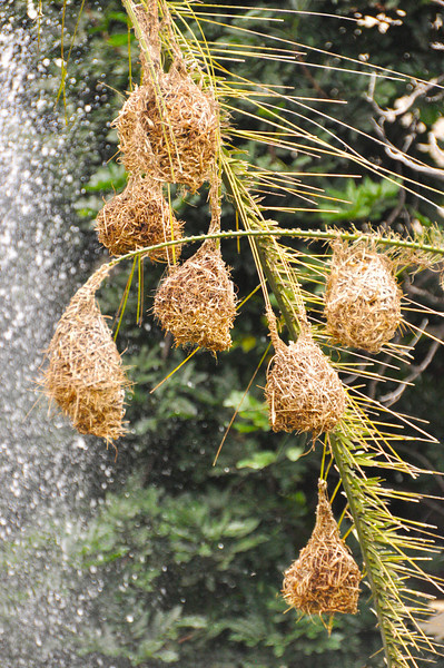 Weaver birds nests beside a fountain at Hwange Safare Lodge.