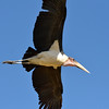 Marabou Stork In Flight 3