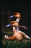 Duck Echo: A second Fulvous Duck steps into the frame, resulting in a sort of duck echo. Location: Mukuvisi Woodland, Harare, Zimbabwe.