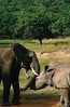 Elephant and Rhino: A young elephant jousts with a full-grown rhino, in a very unusual alliance between the two species.  In a serious battle, each could do serious damage to the other.  We later heard a rumour that when the elephant grew larger there was a tragedy.  But at the time of this photo the two enjoyed their friendly competition. Location - Cecil Kop Nature Reserve, Mutare, Zimbabwe, Africa