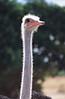 Ostrich Halo: A male ostrich near Bulawayo, Zimbabwe glows with the warm African sun.
