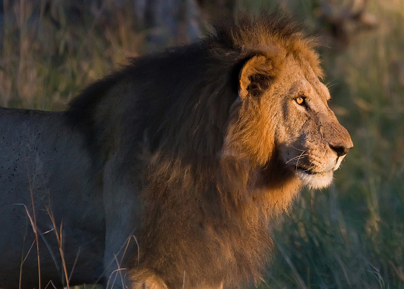 Adult male Lion in the Moremi game preserve