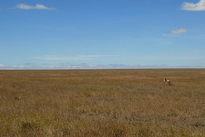 See the cheetah?