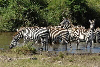 Zebras at water