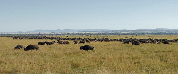 Wildebeest across the plains