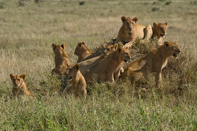3 lionesses and young