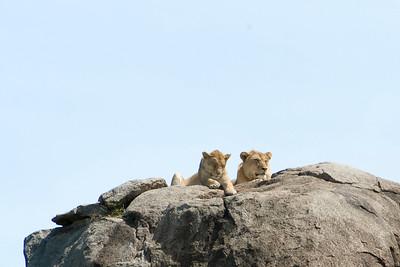 Kopje lions