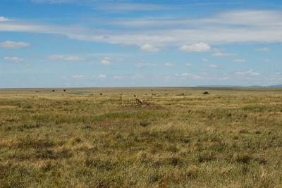 Cheetah homeland
