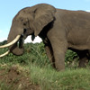 This picture was taken in 1986. It was rare to find an elephant left with such a good set of tusks; they had been so heavily poached. They have such interesting double rippled skin. This one was on the rim of Ngorongoro Crater.