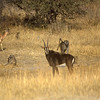 Sable, impala and baboons hanging out together in Zambian scrublands.